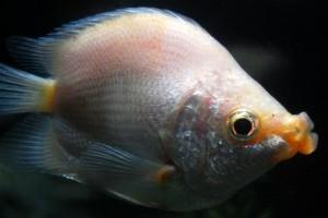 A csókos gurámi (Helostoma temminckii)