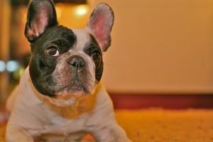 A kutyák fülfertőzésének megelőzése