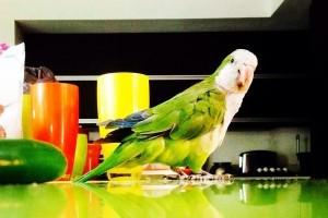 Miért ne tartsd a konyhában a papagájt?