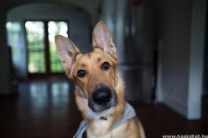Hogyan kezeljük házilag a kutya fülgyulladását?