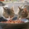 Milyen az egészséges macskakaja?
