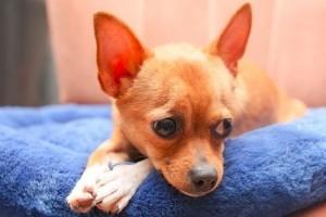 Hogyan szoktassuk a kutyát szobatisztaságra?