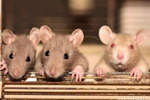 Mit kell tudnia egy patkány gazdijának?