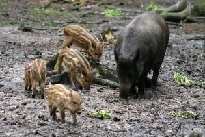 Amerikában a vaddisznó egzotikus kártevő