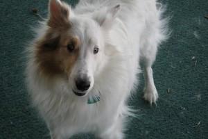 A siket (hallássérült) kutyus tanítása