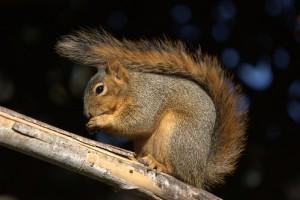 Hogyan szabaduljunk meg a garázda mókusoktól?