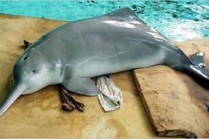 Folyami delfinfélék
