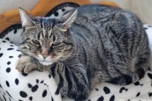 Mivel etessük a kövér macskát?