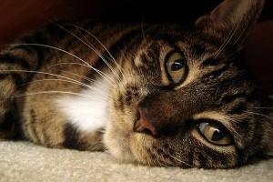 Sömör (dermatophytosis) macskaféléknél