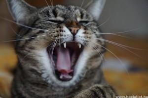 A macskák fogbetegségei