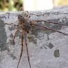 Szongáriai cselőpók (Lycosa singoriensis) etetése videón