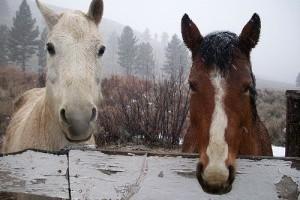 Meleg- vagy hidegvérű lovak?