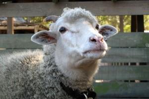 Játékos bárány - videó