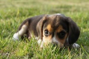 A miniatűr beagle a zsebedben is elfér?