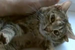 Ötfülű cicát találtak Oroszországban