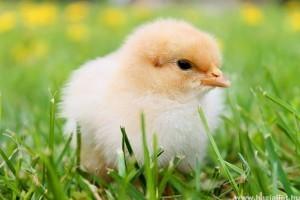 Húsvéti állatok: csibe, kacsa és nyuszi