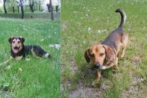 Három kan kutyus gazdit keres