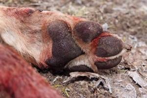 Brutális gyilkosság: orvvadász végzett két farkassal a veresegyházi menhelyen
