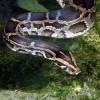 Óriáskígyó a bokorban