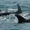Delfintetemeket találtak a Fekete-tengerben