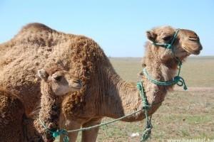 Milyen teve a dromedár (Camelus dromedarius)?