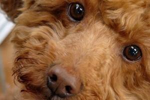 Milyen kutyafajta a cockapoo, a labradoodle és a goldendoodle?
