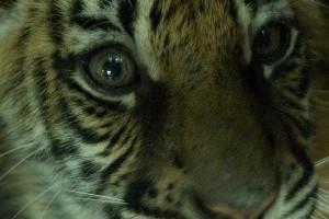 A tigris és a malac