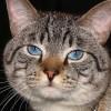 Thai macska, a sziámi nagyapja