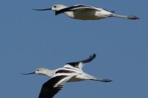 Ijesztően sok védett madarat pusztítanak el Európában