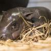 Cuki törpevíziló született a nyíregyházi állatkertben