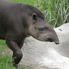A tapírok