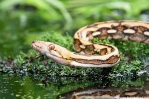 Az óriáskígyók... valóban óriások?