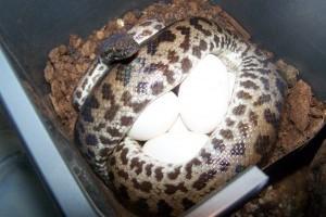 Hogyan szaporodnak az óriáskígyók?