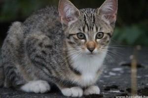 Ajánlott oltási program macskáknak
