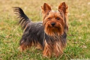A 10 legnépszerűbb kutyafajta
