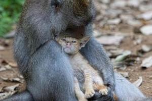 Kiscicát fogadott örökbe egy makákó Indonéziában
