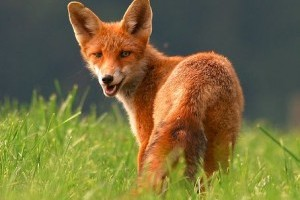 Veszettség: Amit a rókákról tudni érdemes