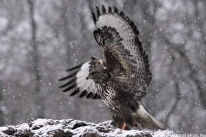 Egerészölyv - Az év madara 2012