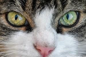 A 10 legszebb macskafajta