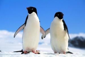 Megtalálták a legmagasabb pingvint