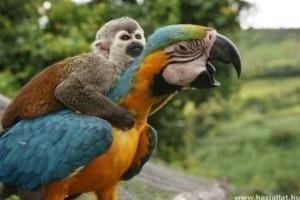 Furcsa páros: a lusta majom és hátasa az arapapagáj