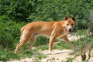 Az új-guineai éneklő kutya