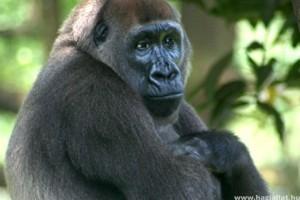 Filmre vették a világ legritkább gorilláját