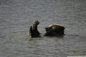 Három medvebocs született titokban Veresegyházon