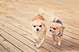 A világ legkisebb kutyafajtája a csivava