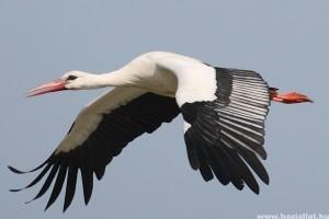 Nyolc nap alatt Szíriáig repült egy nógrádi gólya