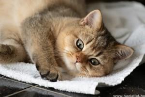 Macskafajták: perzsa, birman, ragdoll, maine-coon, brit