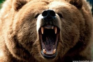 Románia medvevadászatot rendez