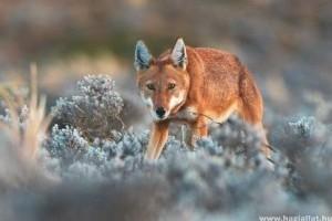 Genetikailag rendkívül sérülékeny a világ legritkább kutyaféléje