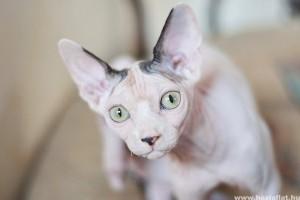 A kopasz macskák a legbarátságosabbak